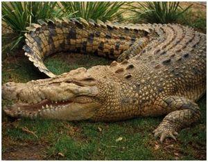 Животное крокодил: описание