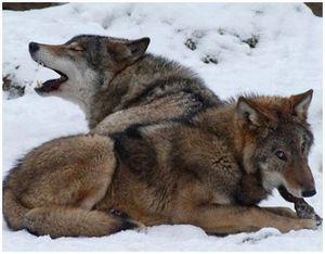 Охота на волков с помощью снотворного