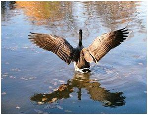 Весенняя охота на гуся на разливах