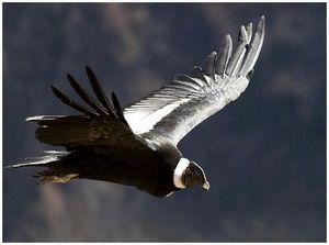 Птица кондор, обитающая в Андах