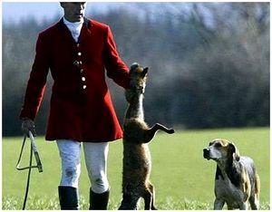 Гончая собака, специально обученная для охоты на лисиц