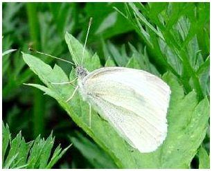 Бабочка (Pieris brassicae)