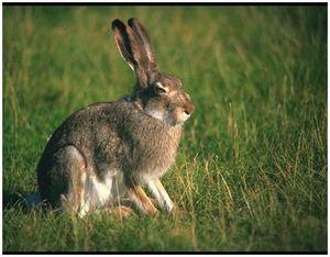 Охота в «узерку» на зайца