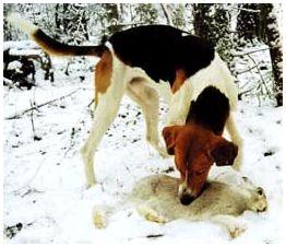 Воспитание русских гончих собак
