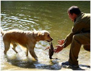 Обучение подачи дичи собакой