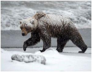 Охота на медведя шатуна в Уссурийском крае