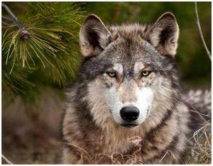 Волчьи повадки – что должен знать о них охотник