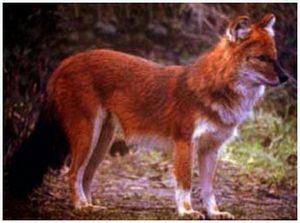 Информация о красных волках
