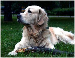 Установление взаимоотношений между охотником и ретривером: привязывание и социализация