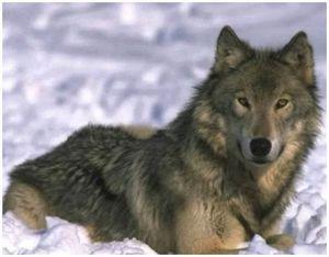 Основные правила подвывки (вабления волка)