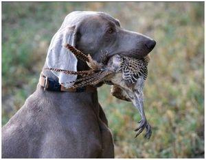 Охота с легавой по лесной дичи