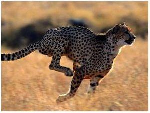 Самое быстрое животное на земле