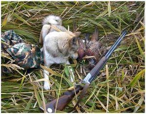 Охота с собакой на фазана на Украине