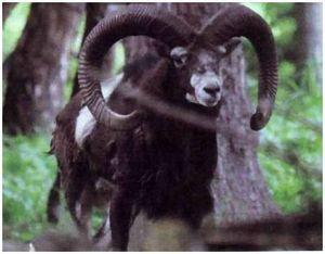 Охота на муфлона