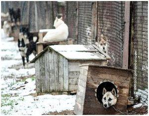 Ошибки в содержании промысловых собак