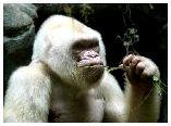 Белая горилла - Капито