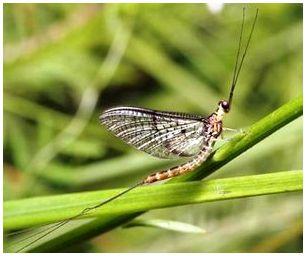 Подёнка ( Ephemeroptera )