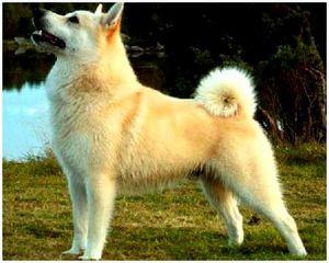 Собака норвежская лайка
