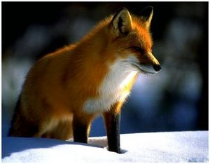 Охота на лису с флажками