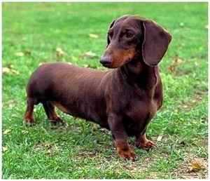 Собака такса, описание