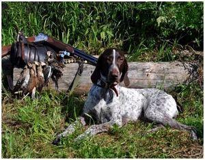 Изучение повадок перепелов при охоте с собакой