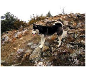 Охота с лайкой на волчат на логове