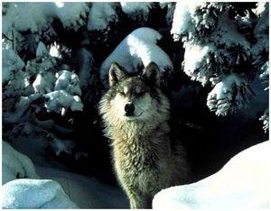 Охота на волков скрадом