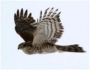 Ловчие птицы: ястреб-перепелятник