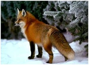 Секреты охоты на лису