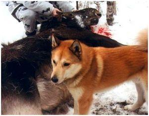 Охота на лося скрадом