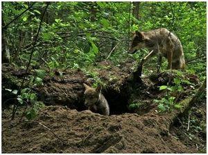 Охота на волка у логова
