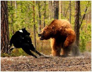 Оружие, собаки и капканы, рекомендуемые для охоты на медведя