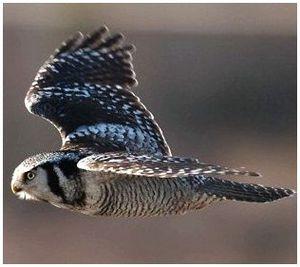 Птица ястребиная сова