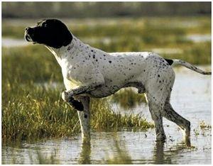 """Обучение легавой собаки """"докладывать"""" о найденной дичи"""