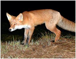 Охота на лисицу с подхода