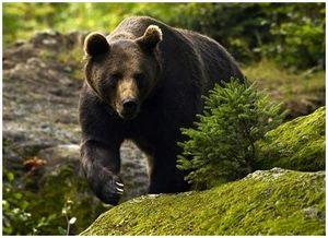Охота на медведя с подхода на солнцепеках и стрельба на падали