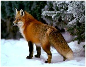 Повадки лисы и охота на нее