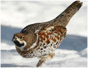 Как найти места обитания рябчика зимой?