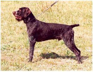 Как вести легавую собаку на охоте