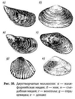 Животные, имеющие ядовитое мясо: моллюски