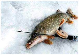Зимняя ловля щуки на балансир