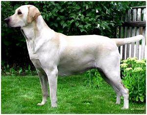 Лабрадор как охотничья собака