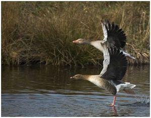 Охота на гуся весной