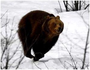 Секреты медвежьей облавной охоты