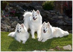 Порода собаки самоед