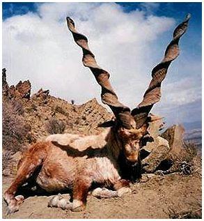 Винторогий козел мархур