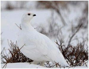 Белая куропатка и охота на нее