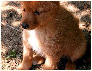 Как выбрать щенка лайки