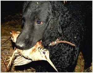 Типы поведения вальдшнепов под подружейной собакой