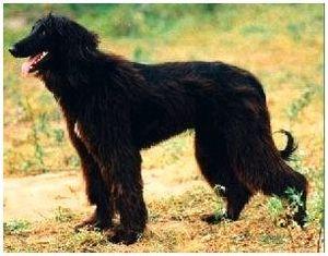 Собака породы тайган, киргизская борзая